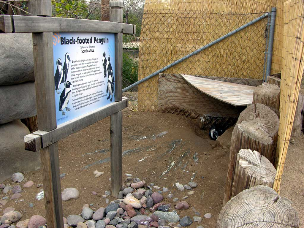 Blackfooted Penguin - only saw one in the enclosure