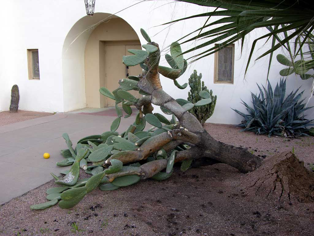 Uprooted cactus in Scottsdale